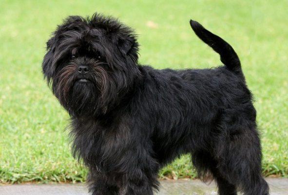 Lưu ý cắt tỉa lông cho chó husky, samoyed hay alaska 1 - c2