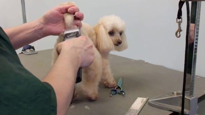 Cách cạo lông chó bằng tông đơ