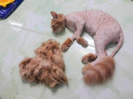 Tông đơ cho mèo